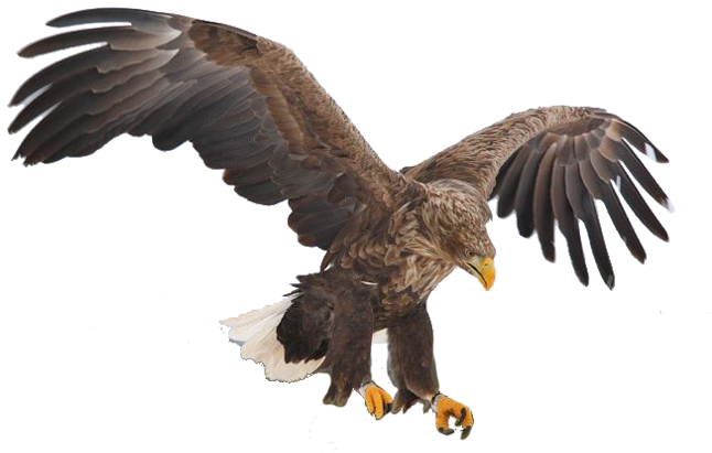 Aguila real mexicana volando dibujo  Imagui