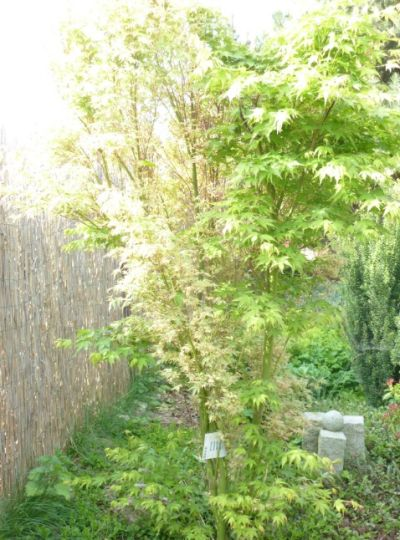 japanischer garten masami pflanzen. Black Bedroom Furniture Sets. Home Design Ideas