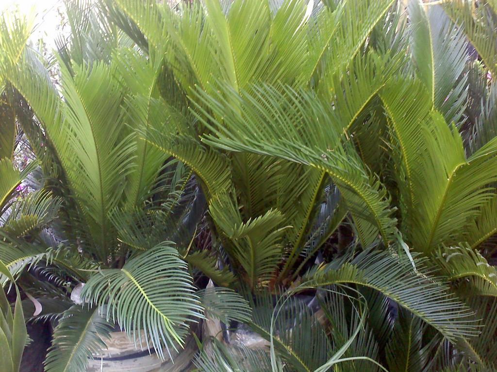 Vivero santa mar a - Bambu planta exterior ...