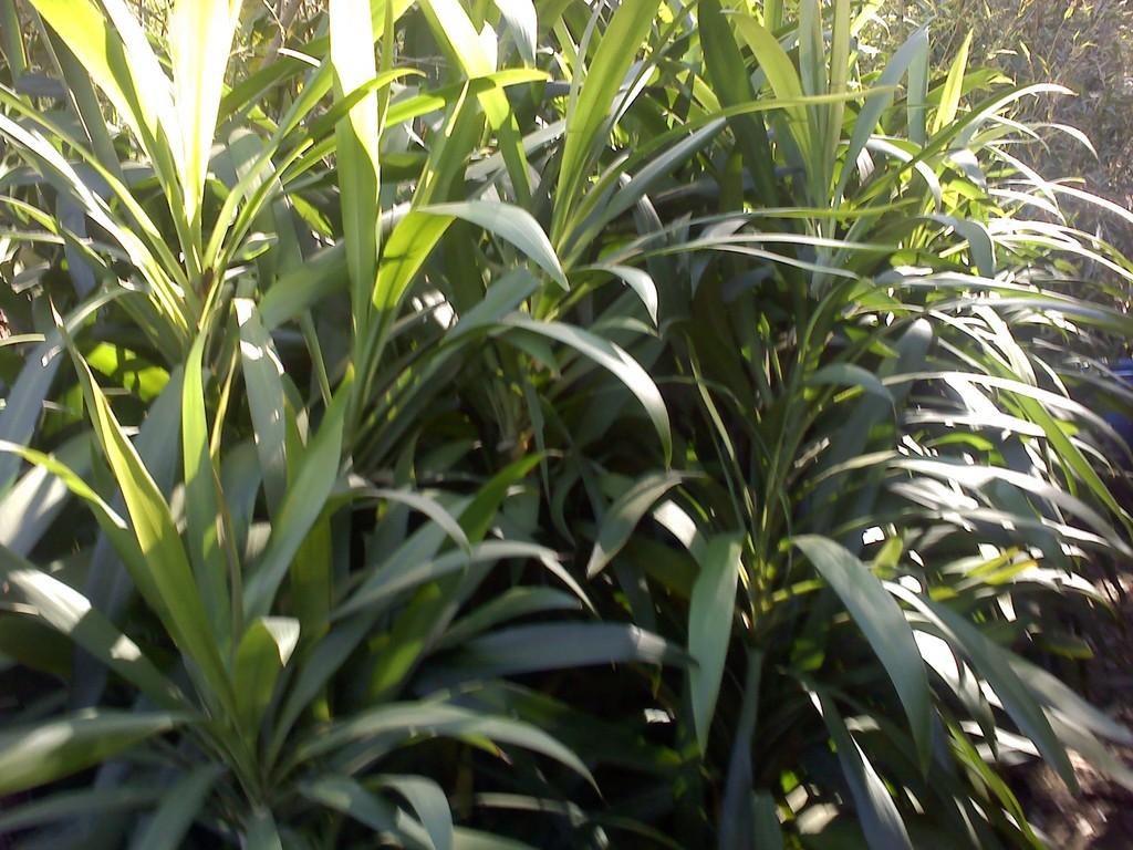 Jardineria la encantada jardineria - Bambu planta exterior ...