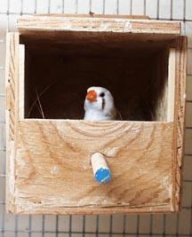 Сделать гнездо своими руками для амадин