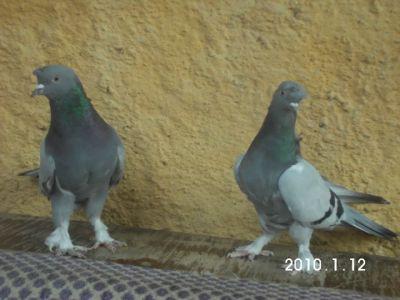 taklacı güvercin çeşitleri videoları