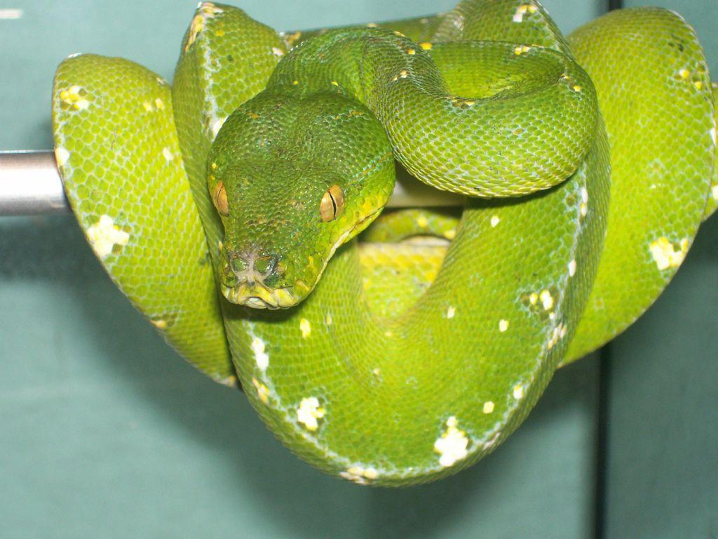 FZ Morelia viridis Cyclops