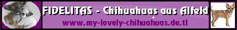 Chihuahuas in Lang-und Kurzhaar - keine bewusste Minizüchtung - Familienaufzucht in der Küche mit großen und kleinen Hunden und Menschen - Prägung bewusst und sorgfältig - mehr Auskunft gern telefonisch