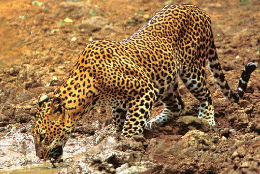 Leopardo del atlas