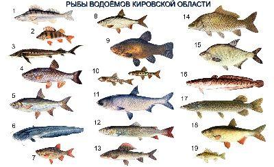 толстолобик речная или морская рыба