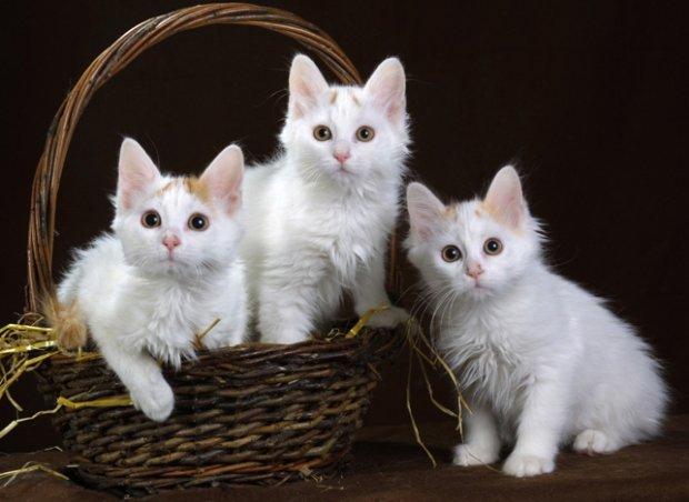 Ankara kedisi angora angora türü kedi ankaranin kedileri