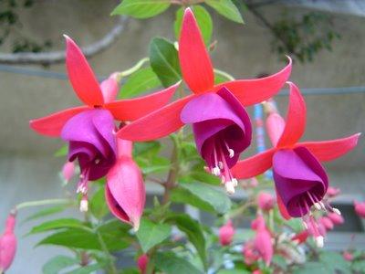 Sümbül çiçeği hakkindaki herşey bakimi ve yetiştirilmesi