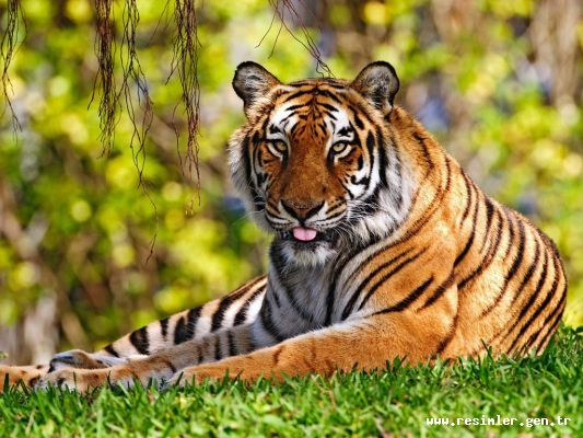 Kaplanlarin hayati kaplan türleri büyük vaşi kediler
