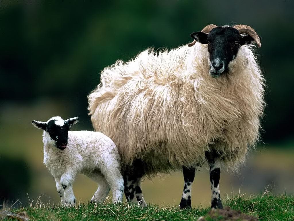 Koyun caprinae alt familyası içinde bir grup oluştururlar ve