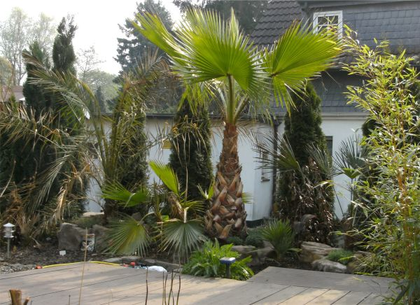dean martinas palmengarten washingtonia palmen. Black Bedroom Furniture Sets. Home Design Ideas