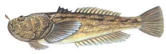 kurbağa balığı ile ilgili görsel sonucu