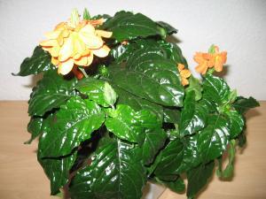 Pflanzeninfo zimmerpflanzen mit c - Zimmerpflanzen sonniger standort ...