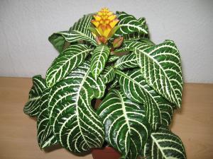 Pflanzeninfo zimmerpflanzen mit g - Standort zimmerpflanzen ...