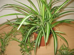 pflanzeninfo zimmerpflanzen mit g. Black Bedroom Furniture Sets. Home Design Ideas