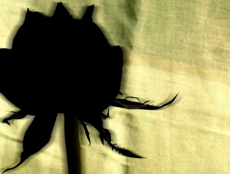 Siyah gül resimleri siyah gül siyah gül resimleri siyah gül