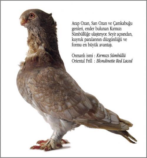 Osmanlı Güvercin Hünkari Hunkari1