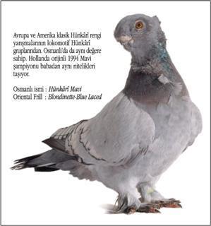 Osmanlı Güvercin Hünkari Hunkari10-s