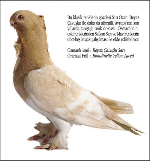 Osmanlı Güvercin Hünkari Hunkari2