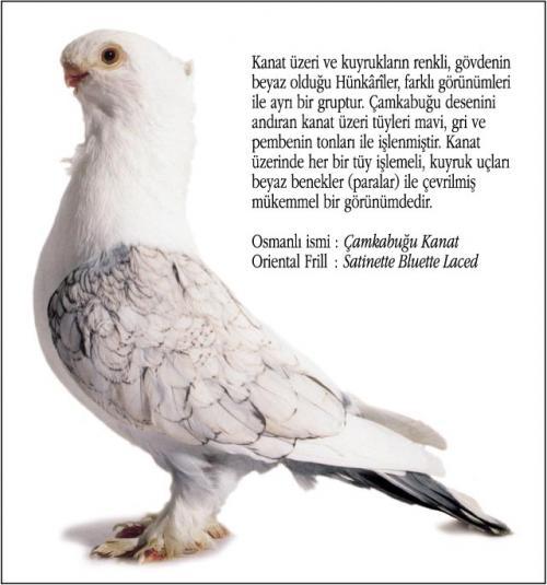 Osmanlı Güvercin Hünkari Hunkari4