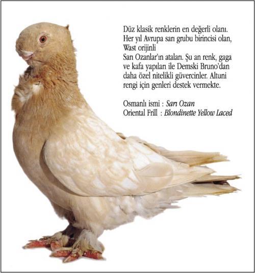 Osmanlı Güvercin Hünkari Hunkari5