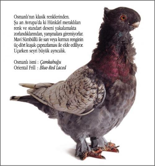 Osmanlı Güvercin Hünkari Hunkari6