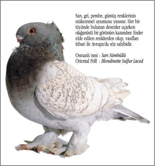 Osmanlı Güvercin Hünkari Hunkari7