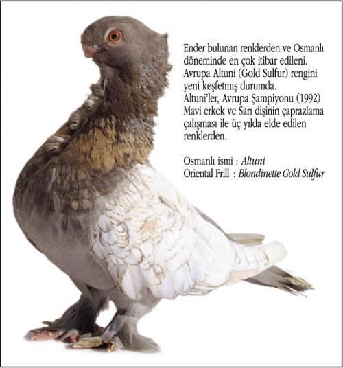 Osmanlı Güvercin Hünkari Hunkari9