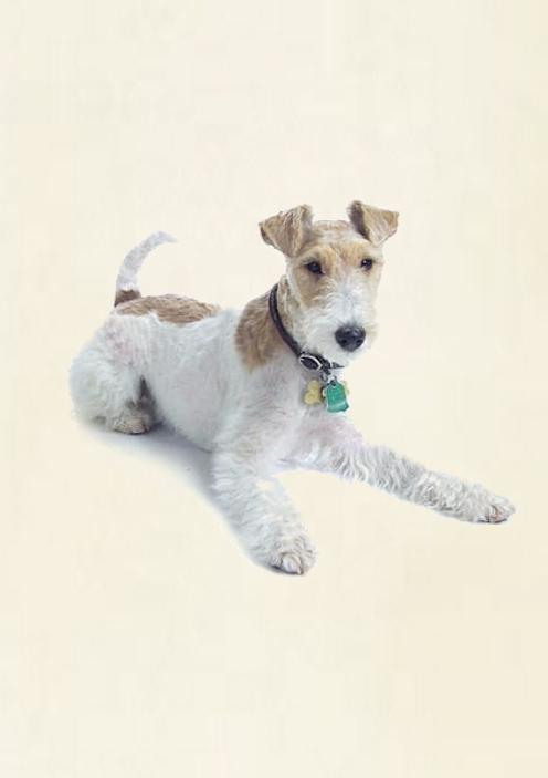 Fox Terrier Pelo Duro - Perros y Cachorros en Mercado