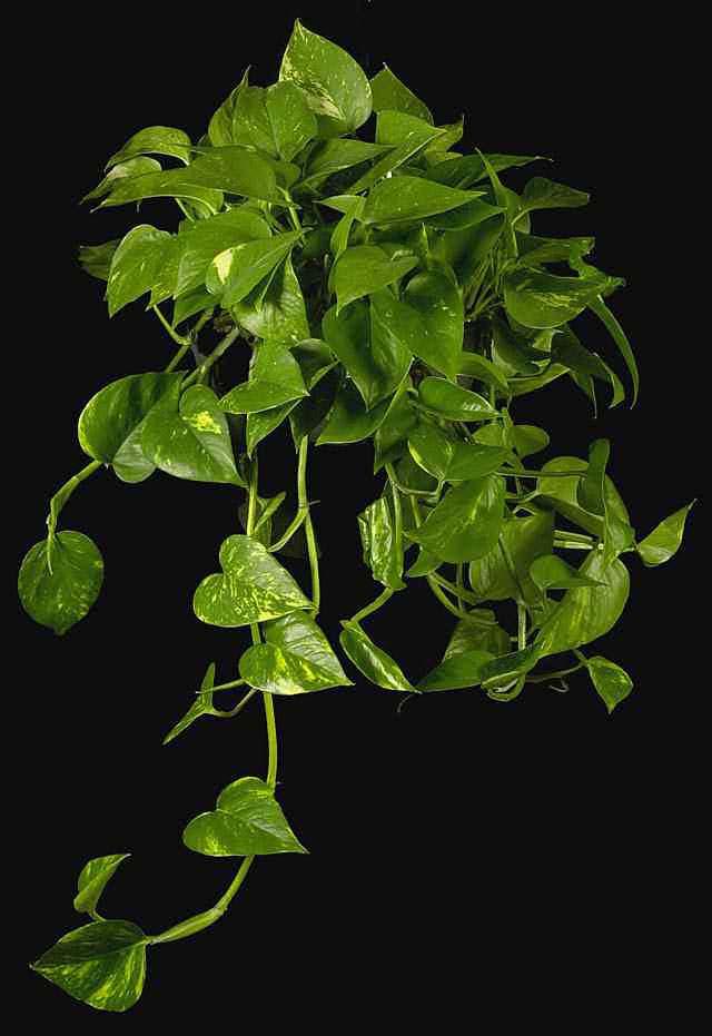 El cuidado de las plantas y el jardin plantas colgantes para interior - Plantas colgantes ...