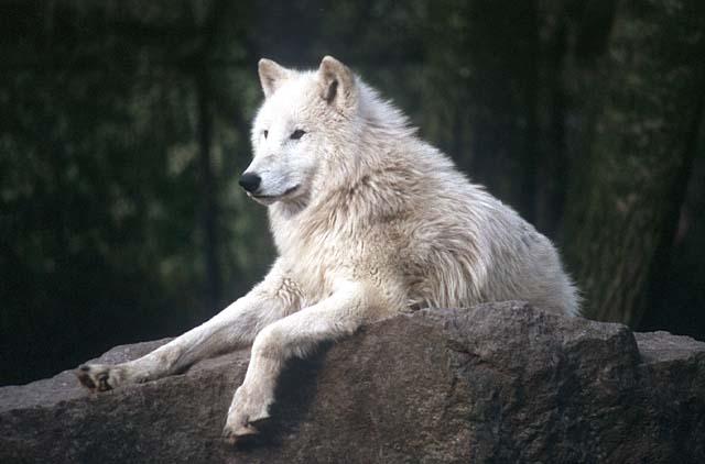 Волки картинки  красивые фото обои на рабочий стол галерея 1
