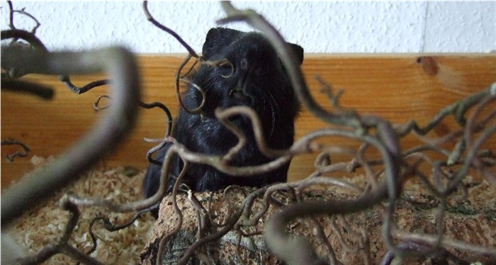 Meerschweinchen Ninja mampft Korkenzieherhaselnuss