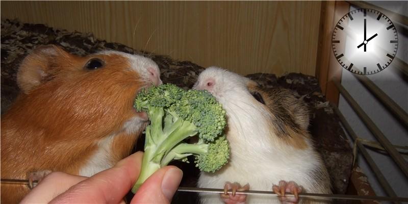 Meerschweinchen futtern zusammen Brokkoli