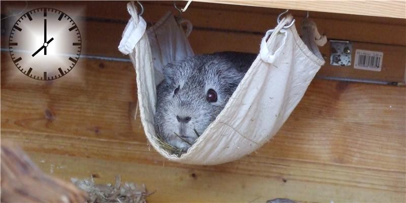 Rentner-Meerschweinchen in der Hängematte