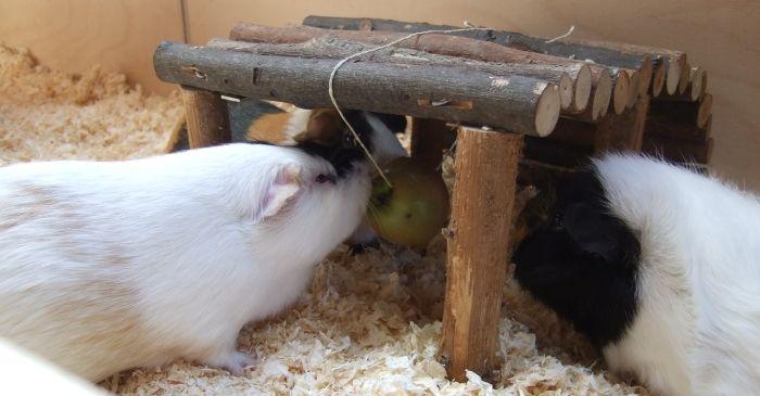 Apfel auf Schweineleine am Unterstand