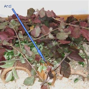Meerschweinchen Andi kommt aus dem Blätterdach