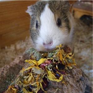 Meerschweinchen Conny schnüffelt an der Blütenweise Deluxe