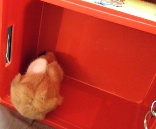 Meerschweinchen Flecki in einer kleinen Box