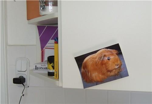 Meerschweinchen Cayenne an unserem Küchenschrank