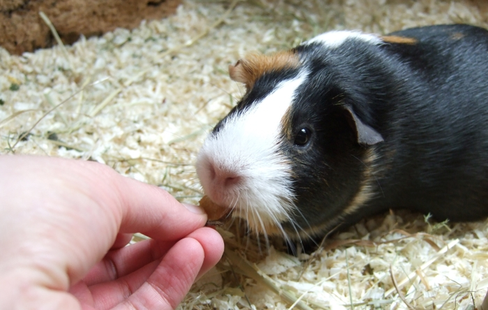 Meerschweinchen Muffin mampft getrocknete Chicoreewurzelscheiben