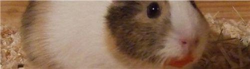Meerschweinchen Conny beschmiert