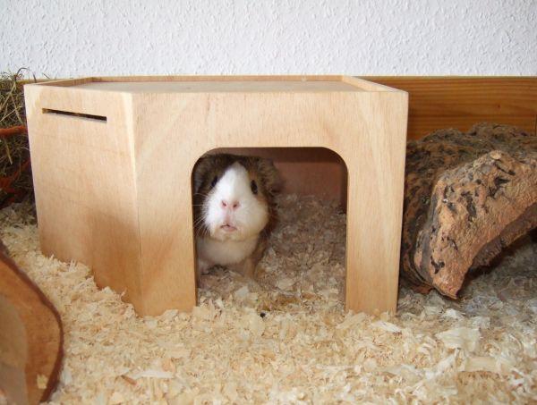 Meerschweinchen Conny im Eckhaus von Getzoo