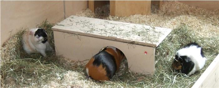 Meerschweinchen an der Doppeltunnelheuraufe