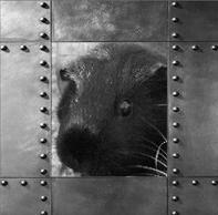 Meerschweinchen Ninja in Einzelhaltung