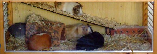 halber Quadratmeter für fünf Meerschweinchen