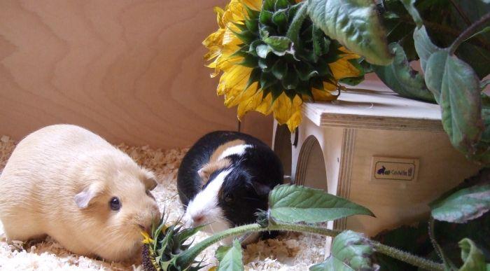 Schweineschwestern verspeisen Blumen
