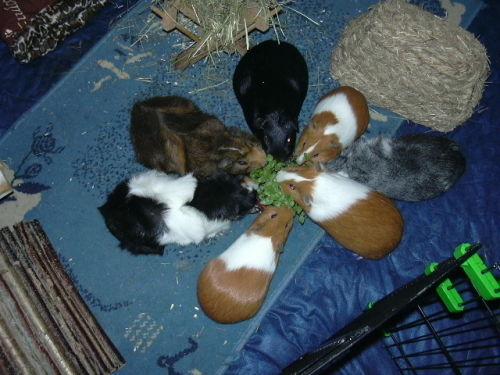 Meerschweinchen Andis Familie