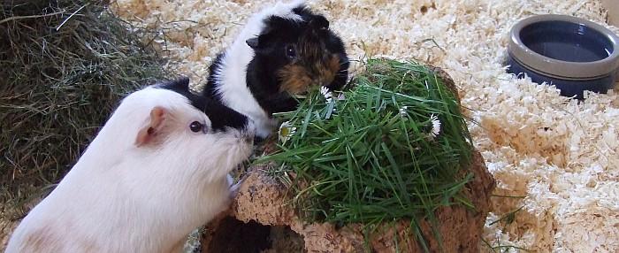 Schweineprinz und seine Dame beim Essen