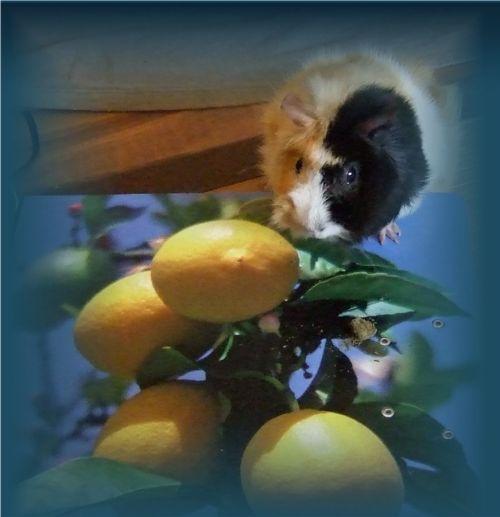 Meerschweinchen Flecki auf Zitronenbaum