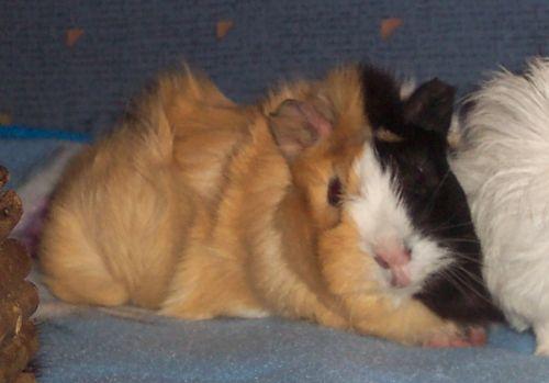 Babymeerschweinchen Flecki